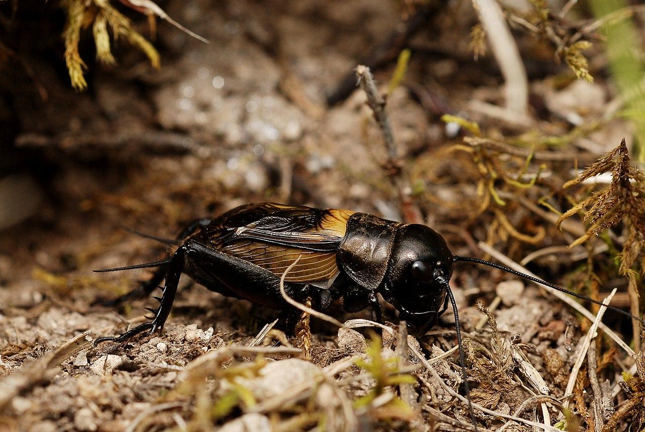 Svrček poľný (Gryllus campestris) - samček