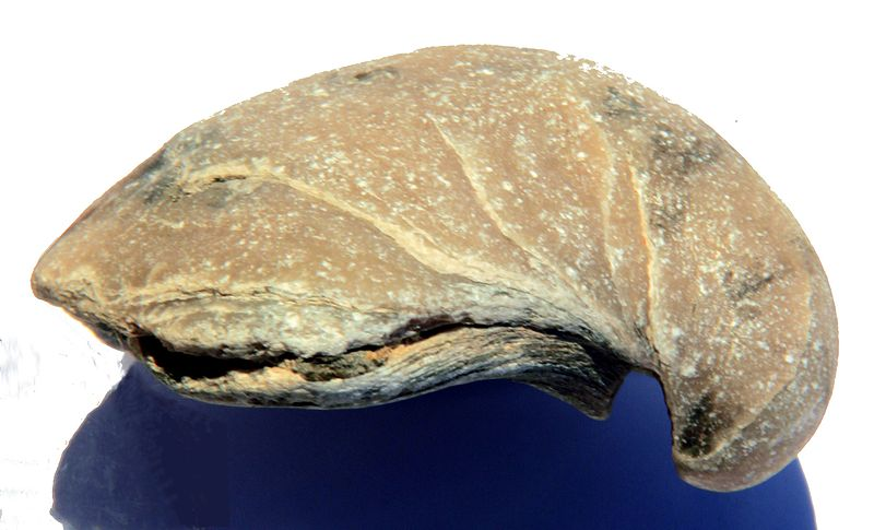 File:Gryphaea dilatata lateral.jpg