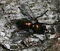 Gymnocheta viridis (Greenbottle Tachinid) - Flickr - S. Rae (1).jpg