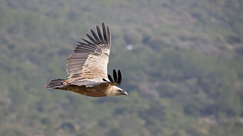 File:Gyps Fulvus in flight.jpg
