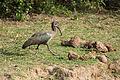Hadeda ibis - Queen Elizabeth National Park, Uganda (4).jpg