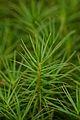 Haircap Moss (Polytrichum sp.) - Gatineau Park, Quebec 01.jpg