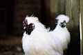 Hairy chickens (276117559).jpg