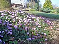 Hardy Cyclamen at Kenchester Water Gardens - geograph.org.uk - 1541312.jpg