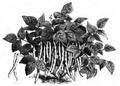 Haricot d'Alger noir nain à longue cosse Vilmorin-Andrieux 1883.png