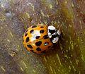 Harlequin Ladybird. Harmonia oxyridis. - Flickr - gailhampshire.jpg