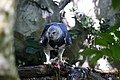 Harpy Eagle, South America.jpeg