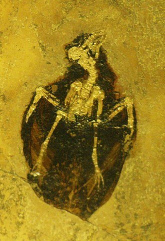 Strisores - Hassiavis laticauda fossil from the Messel fossil site