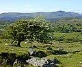 Hawthorn tree on the hill - geograph.org.uk - 1615852.jpg