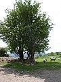 Hawthorns - geograph.org.uk - 180549.jpg