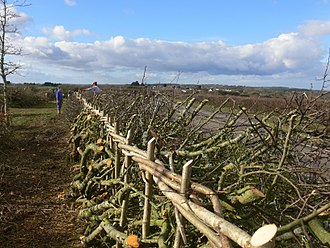 Hedgelaying - Hedge laid in Midland style