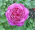 Heidi-Klum-Rose (Tantau 2006).jpg