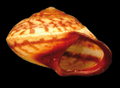 Helicina rhodostoma shell 2.png