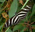 Heliconius charitonia - Flickr - gailhampshire (1).jpg