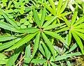 Helleborus foetidus in Lozere (2).jpg