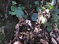 Henckelia repense-3-chemunji-kerala-India.jpg