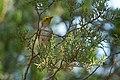 Hermit Warbler (immature) Huachuca Canyon Sierra Vista AZ 2018-09-09 09-17-48 (45679629281).jpg