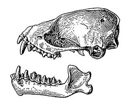 Hesperoptenus tickelli skull.jpg