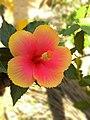 Hibiscus 2016-04-21.jpg