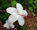 Hibiscus arnottianus subsp. arnottianus Kanani Kea (5112733259).jpg