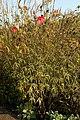 Hibiscus coccineus 5zz.jpg