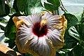 Hibiscus rosa-sinensis Fifth Dimension 5zz.jpg