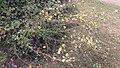 Hieracium laevigatum plant (02).jpg