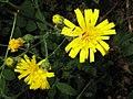 Hieracium vulgatum inflorescence (11).jpg