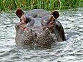 Hippo (Hippopotamus amphibius) (6861592975).jpg