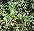 Hippobromus pauciflorus, blomknoppe, Bisleyvallei.jpg