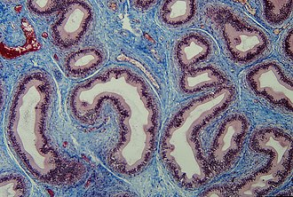 Connective tissue - Section of epididymis. Connective tissue (blue) is seen supporting the epithelium (purple)