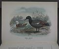 History of the birds of NZ 1st ed p240-2.jpg
