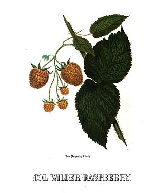 Alfred Hoffy - Lithograph of Col. Wilder raspberry by Alfred A. Hoffy, from Hoffy's North American Pomologist, 1860.