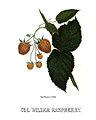 Hoffy Col-Wilder-raspberry-ca1860.jpg