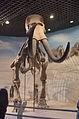 Hohhot.Inner Mongolia Museum.Mammuthus Sungari.jpg