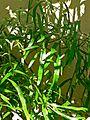 Homalocladium platycladum 2.jpg