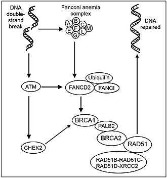 BRCA2 - Recombinational repair of DNA double-strand damage - some key steps.  ATM (ATM) is a protein kinase that is recruited and activated by DNA double-strand breaks.  DNA double-strand damages also activate the Fanconi anemia core complex (FANCA/B/C/E/F/G/L/M).  The FA core complex monoubiquitinates the downstream targets FANCD2 and FANCI.   ATM activates (phosphorylates) CHEK2 and FANCD2  CHEK2 phosphorylates BRCA1.   Ubiquinated FANCD2 complexes with BRCA1 and RAD51.  The PALB2 protein acts as a hub, bringing together BRCA1, BRCA2 and RAD51 at the site of a DNA double-strand break, and also binds to RAD51C, a member of the RAD51 paralog complex RAD51B-RAD51C-RAD51D-XRCC2 (BCDX2).  The BCDX2 complex is responsible for RAD51 recruitment or stabilization at damage sites.  RAD51 plays a major role in homologous recombinational repair of DNA during double strand break repair. In this process, an ATP dependent DNA strand exchange takes place in which a single strand invades base-paired strands of homologous DNA molecules.  RAD51 is involved in the search for homology and strand pairing stages of the process.