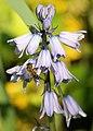 Honigbiene IMG 6970.jpg