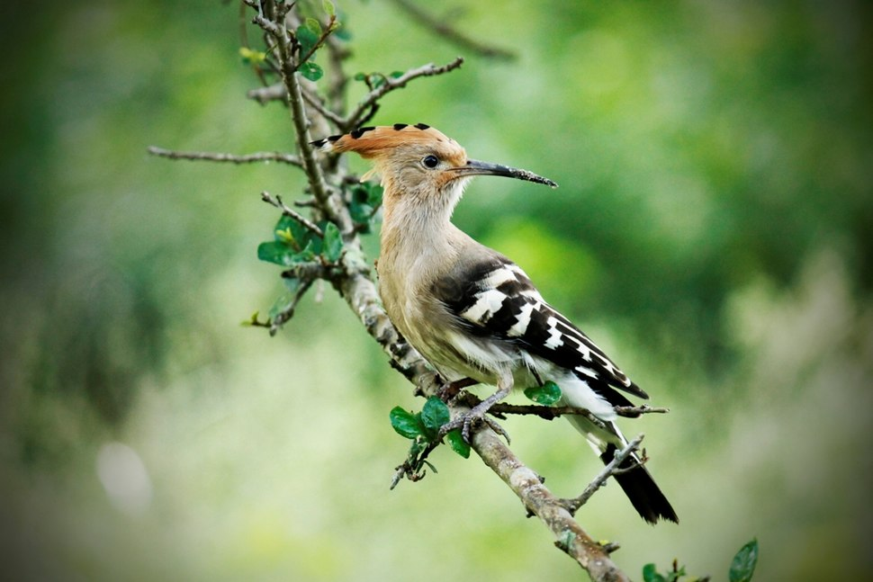 Hoopoe at Rajaji NP