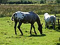 Horse and pony at Thorpe Farm - geograph.org.uk - 554488.jpg