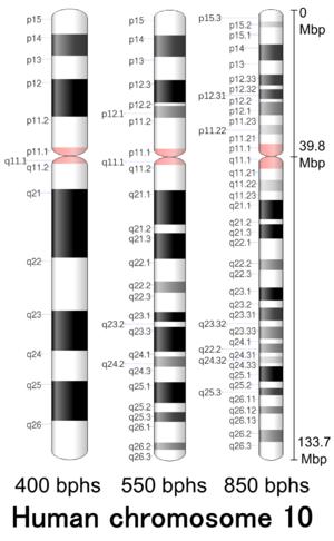 Chromosome 10 (human) - Image: Human chromosome 10 400 550 850 bphs