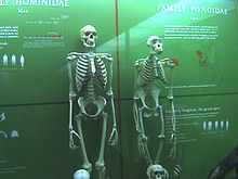 Human next ape skeleton.jpg