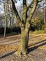 Humboldthain Felsen-Ahorn TP11291.jpg
