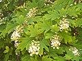 Hydrangea quercifolia.jpg
