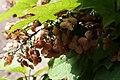 Hydrangea quercifolia Alison 2zz.jpg