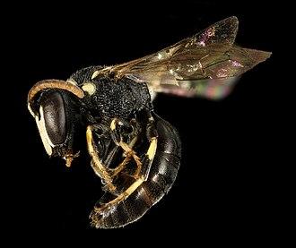 Hylaeus (bee) - Hylaeus leptocephalus