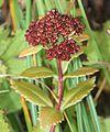 Hylotelephium verticillatum (fruits).jpg