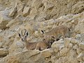 Ibex with babies (145411736).jpg