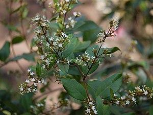 Ichnocarpus frutescens (8286148401).jpg