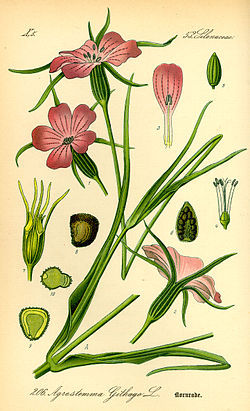 Illustration Agrostemma githago0.jpg